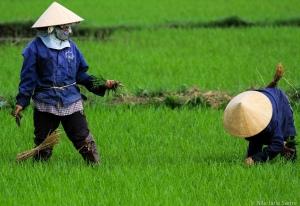 To kvinner jobber på rismarkene like utenfor sentrum av Hoi An.