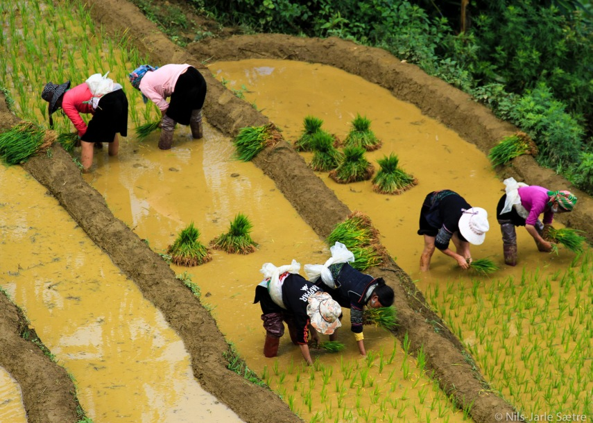 Seks kvinner setter i nye planter i rismarkene.