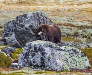 Oksen gnir seg mot steinen jeg satt oppå bare tre minutter tidligere.